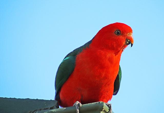 papagayo australiano
